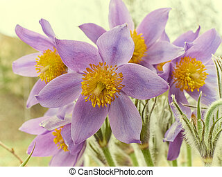 Pasque Flower, first spring flower Pulsatilla vulgaris