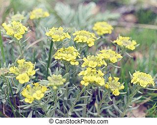 Immortelle - Helichrysum arenarium, dwarf everlas. Field,...