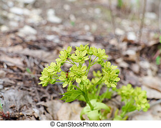 Young inflorescence close-up leaves and buds blooming on a...
