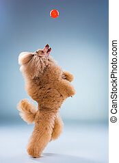 Red Toy Poodle puppy playing with a ball on gray - Red Toy...