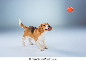 The beagle dog on gray background - The beagle dog with red...