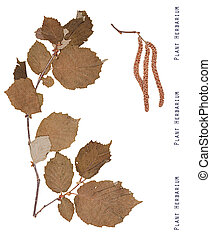 Plant hazel isolated - Herbarium plant hazel. Branch, leaves...