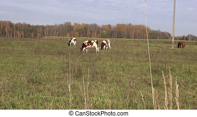 Cows grazing grass - Herd of cows grazing grass in the field...