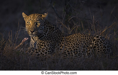 Leopard lay down in darkness to rest and relax - Leopard lay...