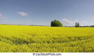 Sunshine flowering rapeseed field