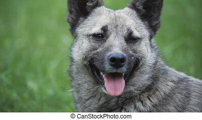 portrait of gray dog stuck out her tongue - portrait of a...