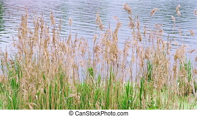 Reed grass fluttering on the wind in front of water surface