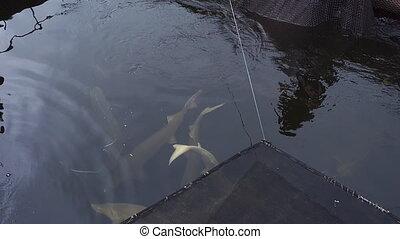 Big sturgeon floats in water on a fish farm