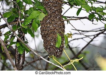 enxame, de, abelhas,