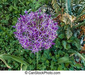 Purple Allium Flower Closeup