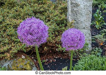 Purple Allium Flower Closeup 2