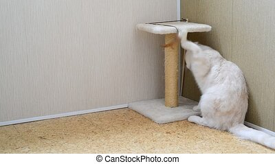 7 month kitten playing with toy and a scratching post -...