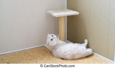 7 month kitten with scratching post - 7-month kitten with a...