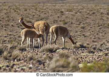 Vicuna and Young - Female vicuna Vicugna vicugna suckling...