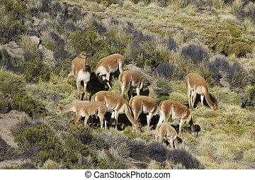 Vicuna on the Altiplano - Group of vicuna (Vicugna vicugna)...