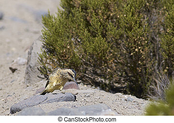Andean Flicker (Colaptes rupicola), a type of woodpecker, in...