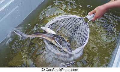 Sturgeon starlet is catching and killing in water tank...
