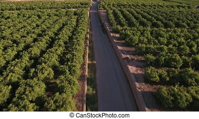 Aerial view of orange tree field with road - Top view of...
