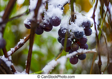 Fresh concord grapes on the vine under fresh snowfall
