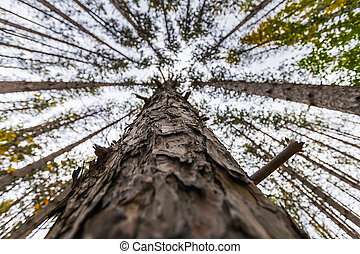 deep forest view of lodgepole pine