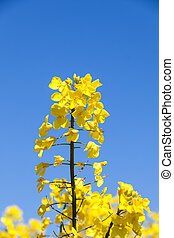 Detail of a bright yellow rapeseed flower, Brassica napus...