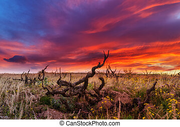 vineyard - Amazing sunrise on old vineyard