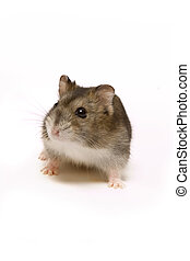 Cute hamster - Little brown hamster looking cute on a white...