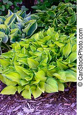 Green and Gold Variegated Hostas, Hostas are Perennial...