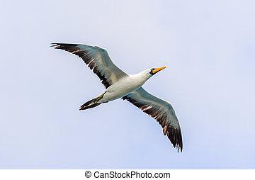 acenado, Albatroz, voando, em, Galapagos,