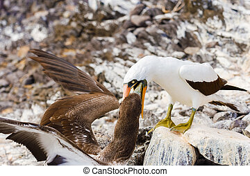 Nazca booby in Galapagos - Nazca Booby on lava rock in...