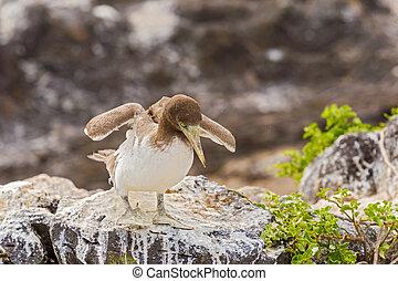 Juvenile Nazca Booby in Galapagos - Juvenile Nazca Booby...
