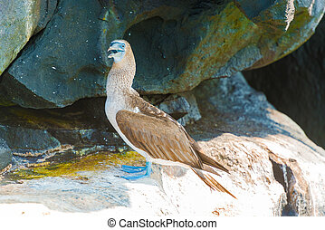 Blue footed Booby in Galapagos, Ecuador - Blue footed Booby...