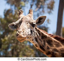 Close-up of Giraffe Head - Close-up of a Majestic Giraffe...