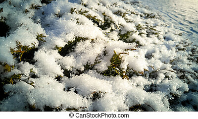 Fir tree branches covered with snow at sunny day - Macro...