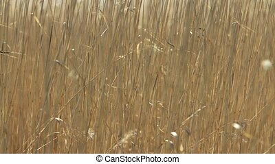 Dry cattail background - Dry cattail abstract background