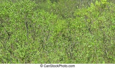 Green brushwoods - spring green forest abstract background