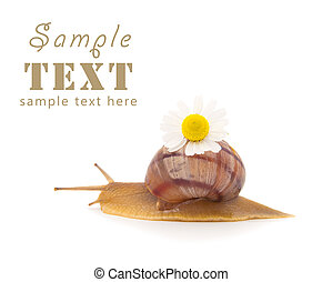 Creeping snail with a camomile flower isolated on a white...