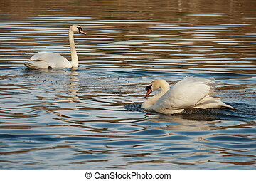 mute swans in courtship - two mute swans in courtship