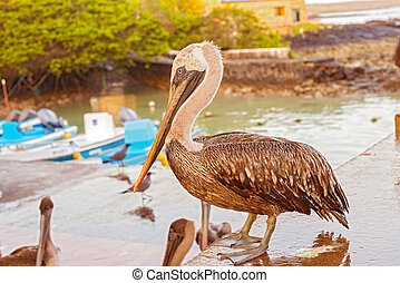Brown Pelican in the Galapagos