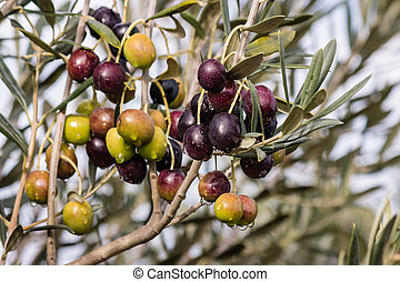 olives ripening on tree - closeup of olives ripening on tree...