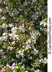 Apple Blossom Malus domestica - Blooming colourfully here in...