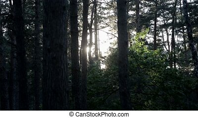 The Sun through the trees in the forest HD