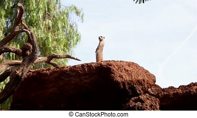 Funny Meerkat stands on two legs