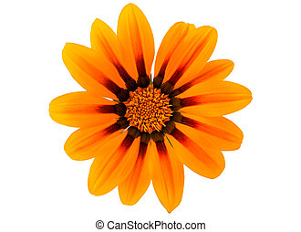 Gazania, flor, isolado,
