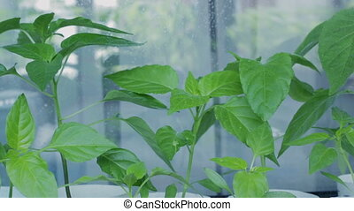 Spraying the plants with water. Seedlings of pepper on window sill.