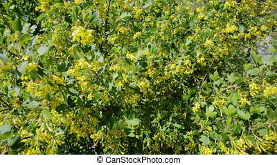 Golden currant bush with yellow flowers.