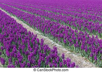 Purple Hyacinth 'Woodstock' Field Noord-Holland - Rows of...