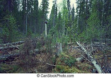 Windbreak in taiga forest,felled trees