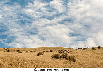 merino sheep grazing on hill - flock of merino sheep grazing...