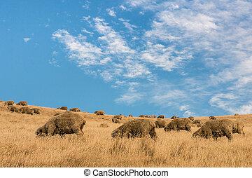 grazing merino sheep against sky - flock of grazing merino...